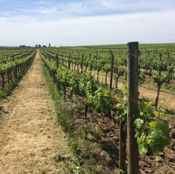 Huichica Creek Sustainable Demonstration Vineyard